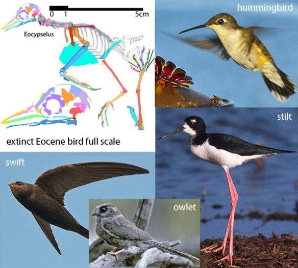 Figure 1. Gene studies link swifts to hummingbirds. Trait studies link swifts to owlets. Trait studies link hummingbirds to stilts.