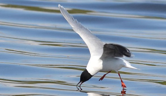 Figure 2. The smallest gull, Hydrocoloeus_minutus, hovering while feeding.