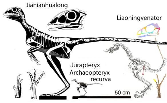 Figure 2. Jianianhualong, Serikornis and Jurapteryx to scale.