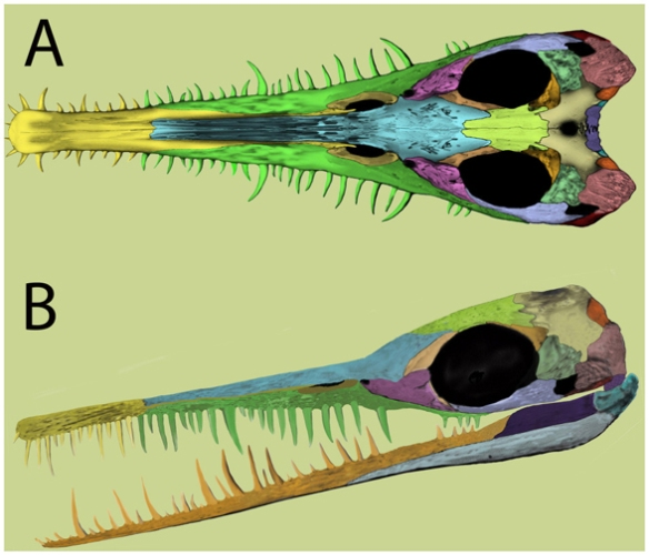 Figure 3. Mesosaur skull with bones colored by Laurin and Piñeiro 2017, modified from Piñeiro et al. 2012b.