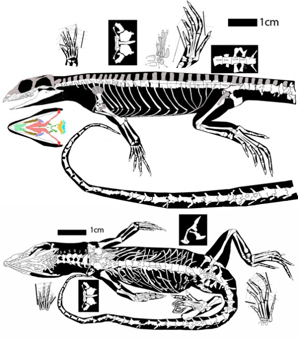 Figure 6. Leptosaurus was omitted by Bever and Norell. Note the triangular skull, gracile mandible, radiale and other traits reported by the authors.