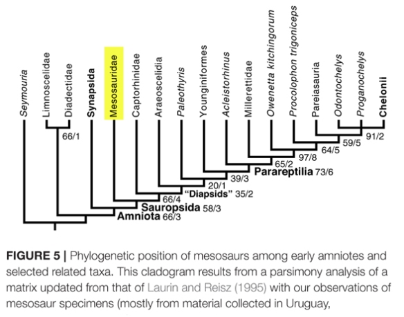 Figure 2. Unfortunately pachypleurosaurs and thalattosaurs are omitted from this cladogram.