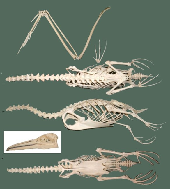 Figure 3. Skeleton of Morus bassanus, the Northern gannet.