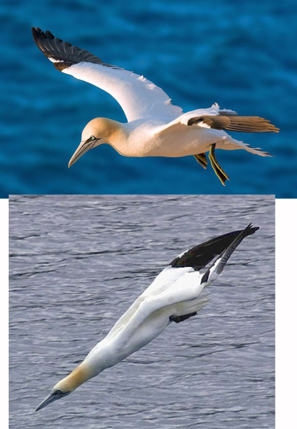 Figure 4. The gannet (genus: Morus) in vivo. Note the diving pose below.