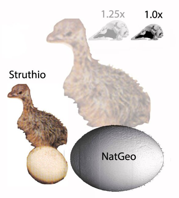 Figure 2. Ostrich hatchling compared to NatGeo egg and skull with hatchling imagined. The skull, as found is premature, based on its size.