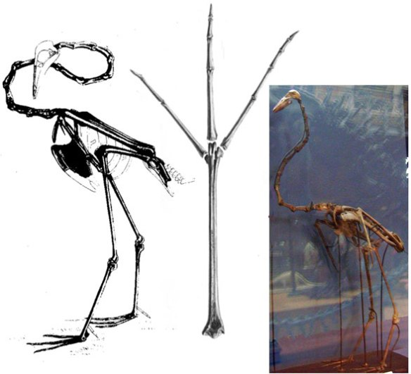 Figure x. Data used to score Palaelodus in the LRT. Note the very flamingo-like proportions, but this is a ratite.