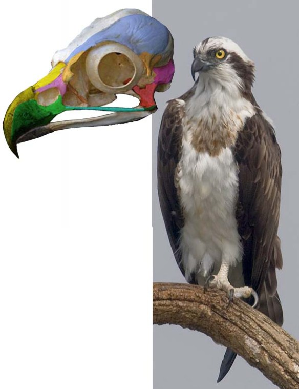 Figure 1. Pandion, the osprey, nests at the base of the birds of prey, sans the secretary bird and seriema.