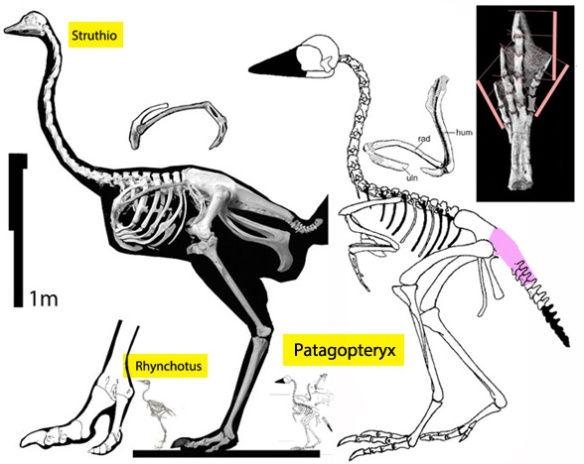 FIgure 1. Patagopteryx compared to Struthio to scale and scaled to a similar shoulder height.