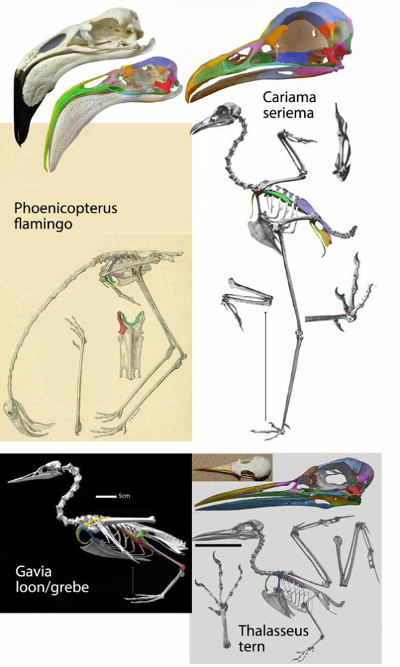 Figure 2. Which taxa share more traits? Phoenicopterus, the flamingo nests with Cariama, the seriema in the LRT, but with Gavia in the Prum et al. DNA study. Gavia nests with Thalasseus, the tern in the LRT.