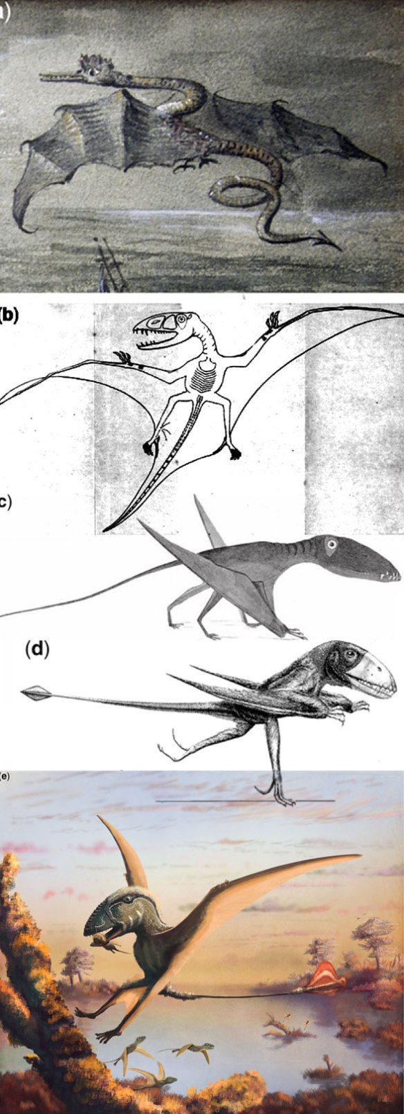 Figure 1. Images from Hone, Witton and Martill 2017 showing the 'evolution' of our concept of Dimorphodon. Compare the latest color version to tracings of the several skeletons in figure 2.