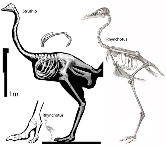 Figure 1. Skeletons of Struthio, the ostrich, and Rhynchotus, the tinamou.