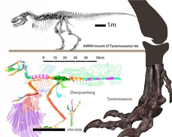 Figure 1. Zhenyuanlong compared to scale with the foot of T-rex and a another overall view of T-rex to a similar overall length.
