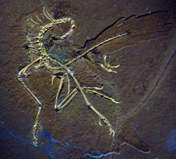 Figure 1. The 11th specimen attributed to Archaeopteryx in situ. See figure 2 for a reconstruction. This specimen remains in private hands without a museum number.