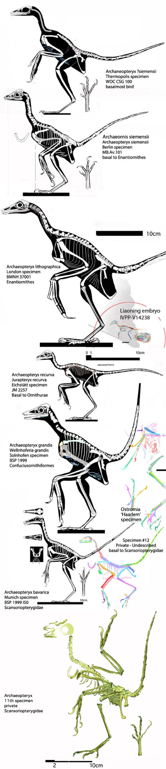 Figure 2. Most of the complete Solnhofen birds, including Archaeopteryx and the eleventh specimen to scale.