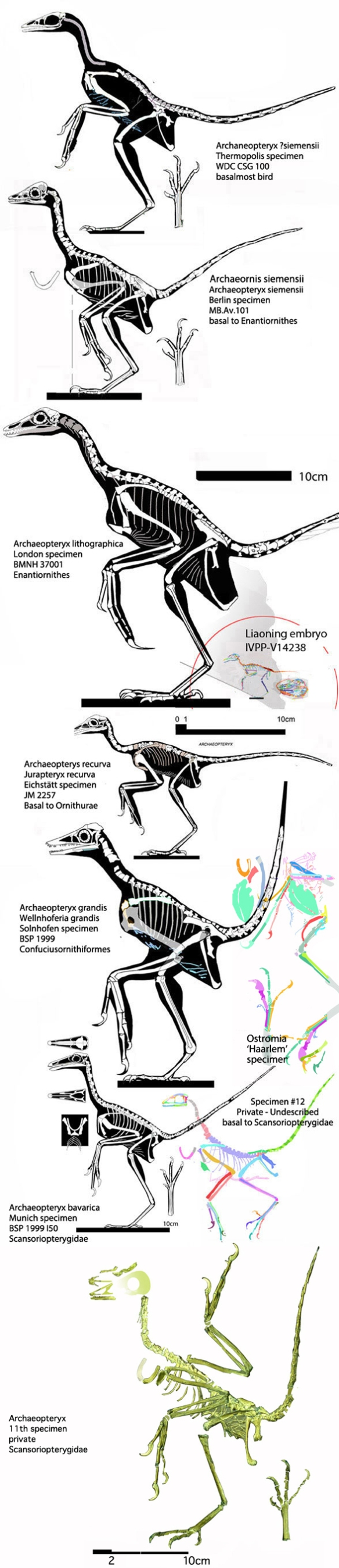 Figure 3. Several Solnhofen birds, including Archaeopteryx, compared to Ostromia to scale.