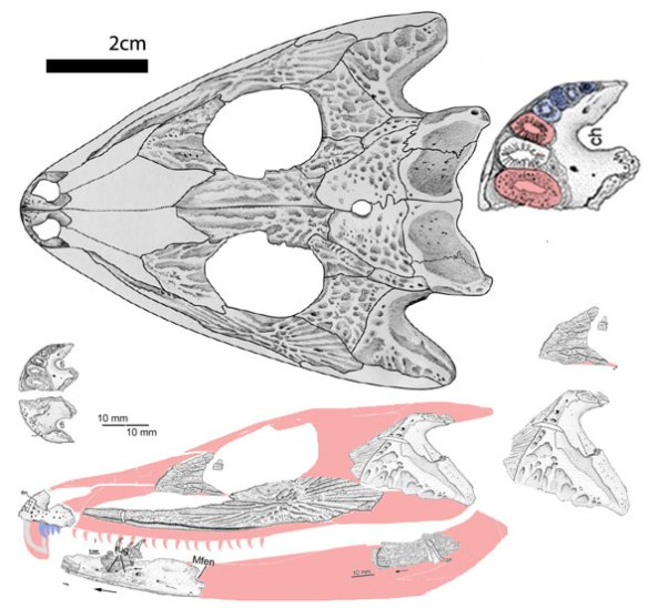 Figure 1. Bystrowiella skull in lateral view. Note the large tooth roots on the premaxilla. we don't know how long those buck teeth would have been.
