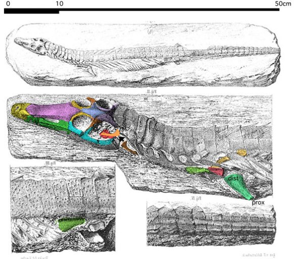Figure 1. Dyoplax arenaceus Fraas 1867 is a mold fossil recently considered to be a sphenosuchian crocodylomorph. Here it nests as a basal metriorhynchid (sea crocodile) in the Late Triassic.