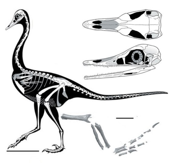 Figure 1. Halszkaraptor escuillei was originally considered an aquatic basal dromaosaur, but here nests with Shuvuuia, a sprinting biped.