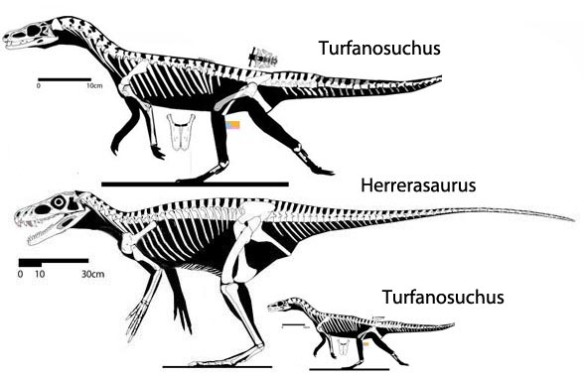 Figure 1. Turfanosuchus compared to Herrerasaurus, the basalmost dinosaur.