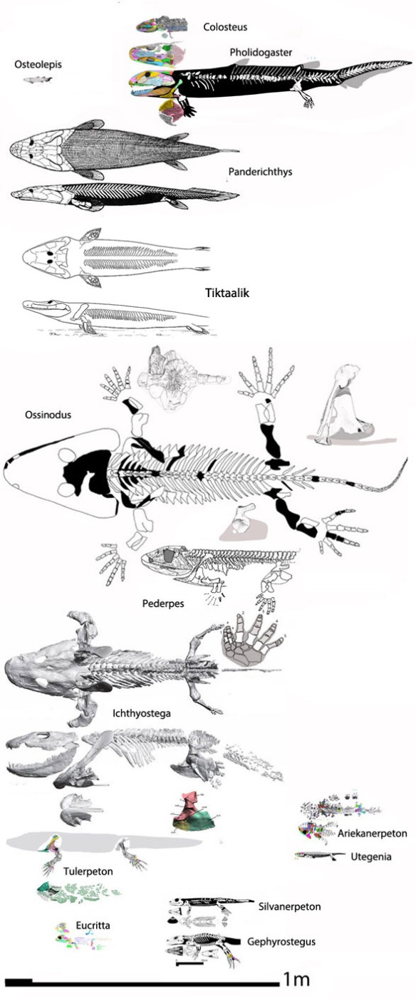 Figure 1. Taxa preceding reptiles in the LRT.  Look how small the first reptiles were. Certainly the transition to land was aided by having less weight to lug around without the support of water.