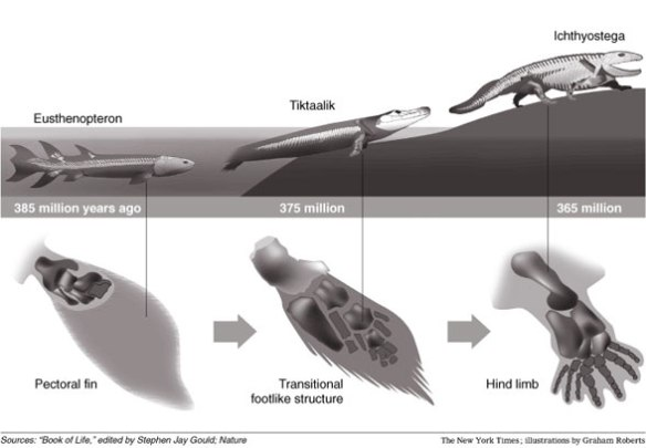 Figure 4. From the NY Times, the traditional view of tetrapod origins.  Red comment was added by me.