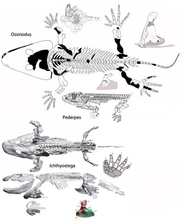 Figure 2. Ossinodus, Pederpes were more primitive than the more aquatic Icthyostega.