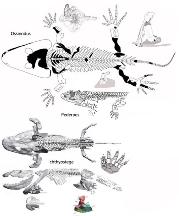 Figure 2. Ossinodus, Pederpes were more primitive than the more aquatic Icthyostega.