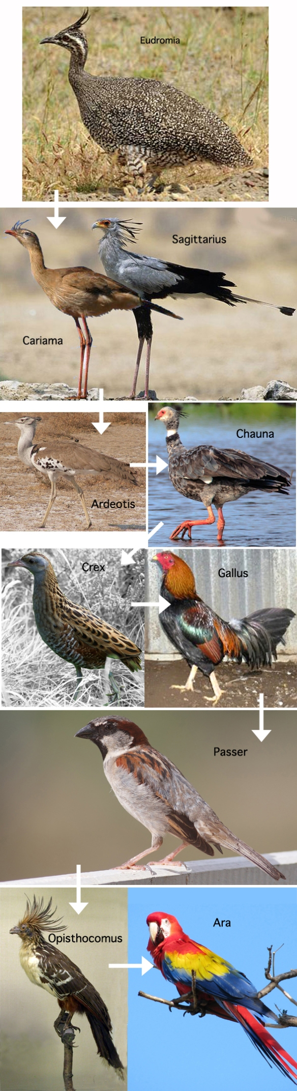 Figure 1. Taxa in the chicken, sparrow, parrot clade, subset of the LRT.