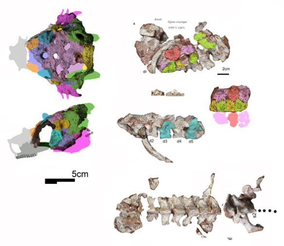 Figure 1. Elginia wuyongae was just described. It shows the genesis of shell formation in hard shell turtles.