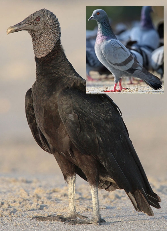Figure 1. The New World vulture, Coragyps, compared in vivo to the rock dove or pigeon, Columba. This is a novel relationship previously overlooked.