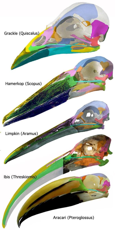 Figure 2. Quiscalus and its descendants, Scopus, Aramus, Threskiornis and Pteroglossus.