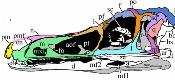 Figure 3. Haplocheirus nests close to Halszkaraptor in the LRT and has a similar short premaxilla.