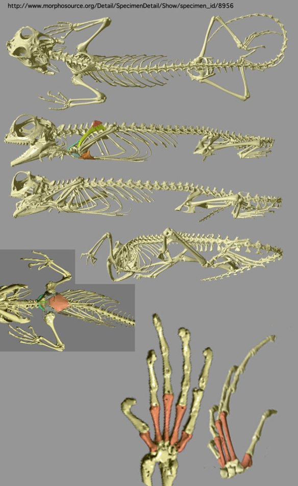 Figure 3. Lyriocephalus skeleton from Morphobank.org, where you can rotate digitized skeletons.