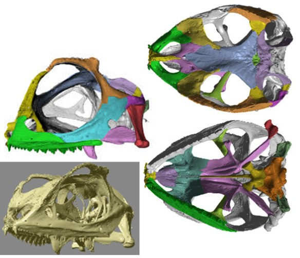 Figure 2. Lyriocephalus skull in several views. Note the arching of the postorbital to contact the prefrontal.