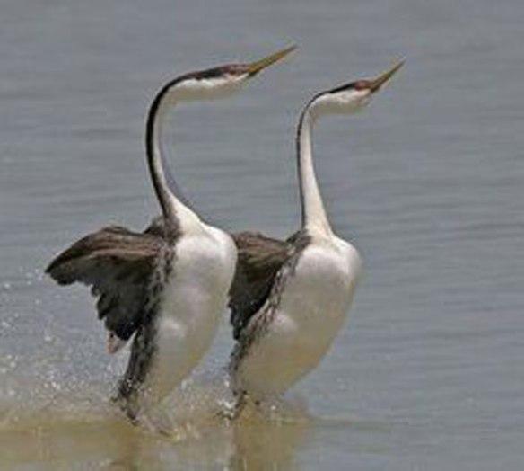 Figure 1. Grebe mating ritual: walking on water.