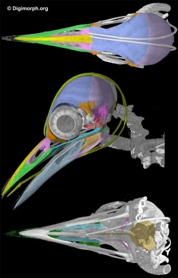Figure 3. Skull of the woodpecker, Melanerpes.