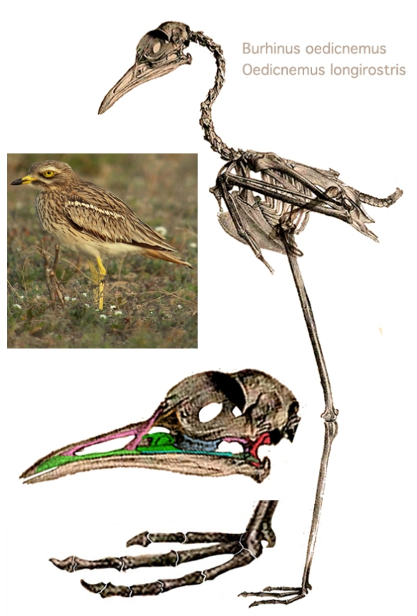 Figure 1. Oedicnemus longirostris (= Burhinus oedicnemus?) the long-sough long-legged crow/grackle, the Eurasian stone curlew or thick knee.