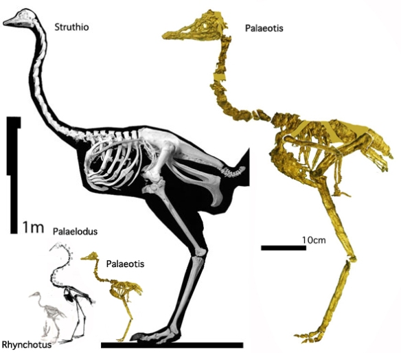 Figure 1. Nearly proportioned like its giant descendant, Palaeotis was an Eocene ostrich less than 1/3 as tall.