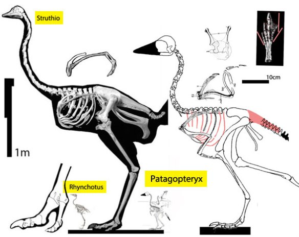 Figure 1. The two-toed ostrich (Struthio) nests with the four-toed Patagopteryx, when all relatives have only three toes.