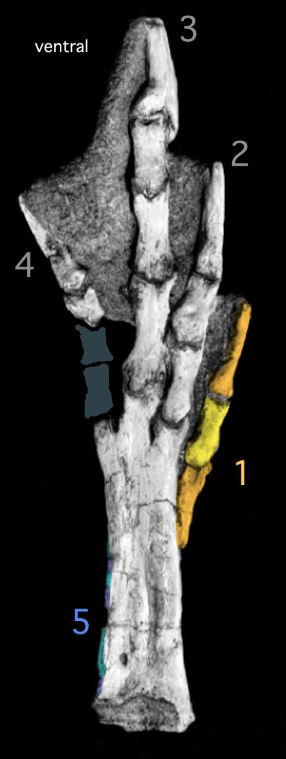 Figure 2. Ventral view of the pes of Patagopteryx. Digits numbered. Pedal digits 1 and 5 are not present in other palaeognaths.