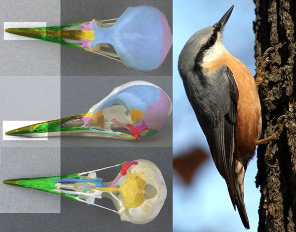 Figure 2. Sitta the nuthatch skull and in vivo. Pecking insects from tree bark is the first stage in drilling tree bark for insects.