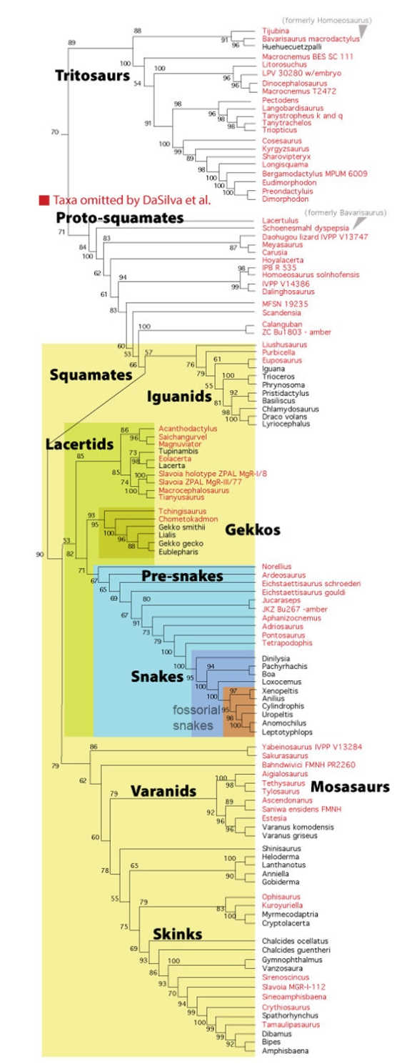 Figure 1. Subset of the LRT focusing on squamates and snakes. Note how many key taxa in the origin of snakes have been omitted by the DaSilva et al. study.