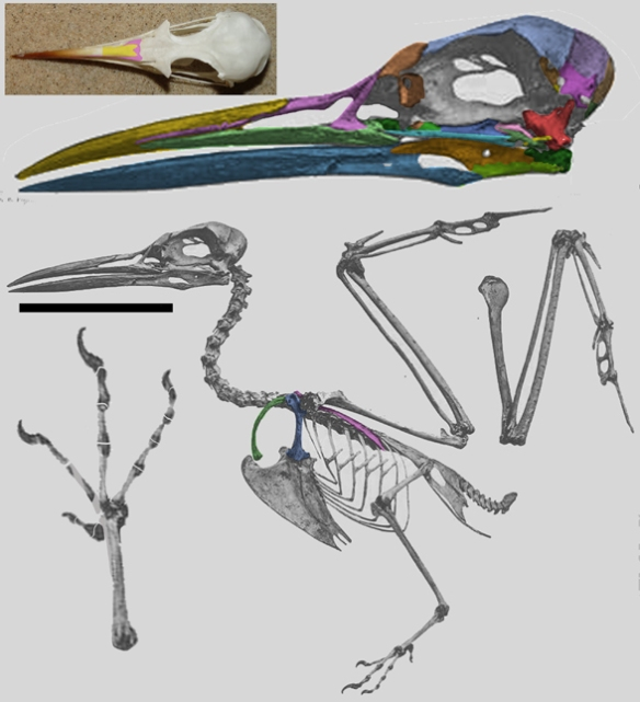 Figure 3. Skeleton of Thalasseus, the crested tern.