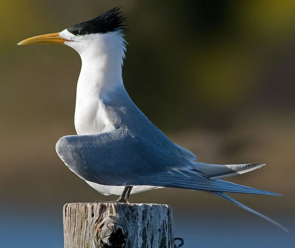 Figure 1. Thalasseus the created tern nests with Rhynchetos, the kagu.