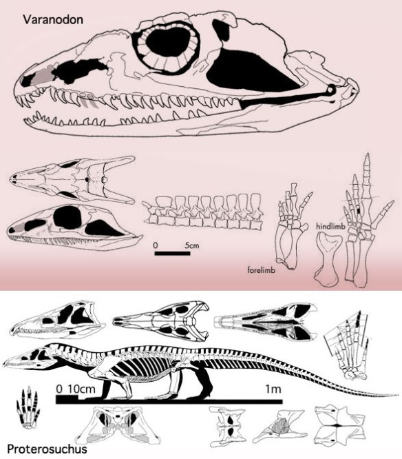 Figure 1. Varanodon the synapsid compared to its analog, Proterosuchus, the archosauriform.
