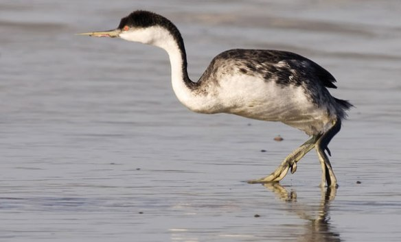 Figure 2. Another miracle: a grebe walking bipedally.
