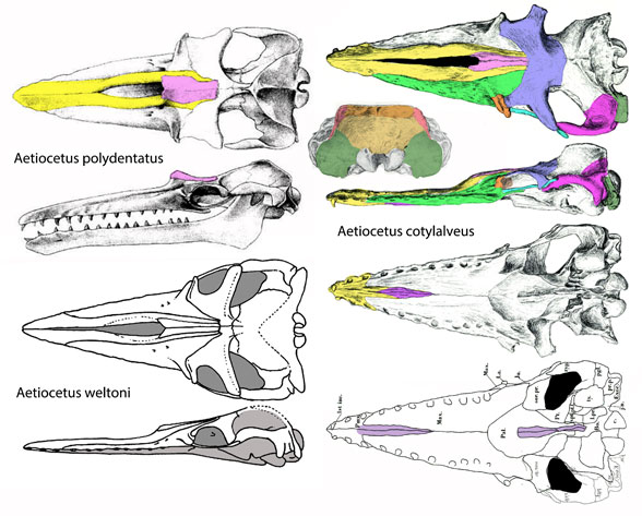 Figure 1. Three species attributed to Aetiocetus. Other workers considere these basal to baleen whales, but they don't include tenrecs and desmostylians in their analyses.