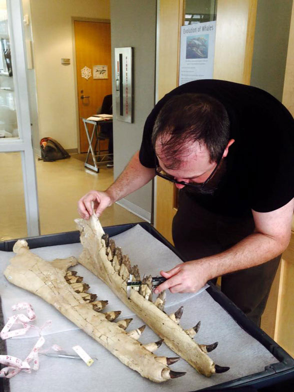 """Figure 4. The caption for this photo is: """"Brian Beatty measuring the jaws of one of our toothed mysticetes. Photo by R. Boessenecker."""""""