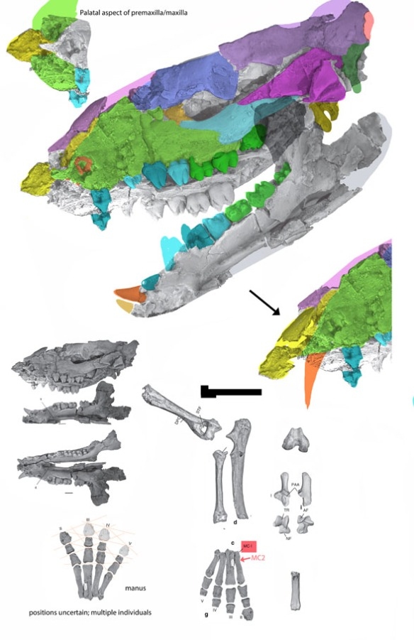 Figure 2. Cambaytherium with a an alternate rostrum reversing taphonomic shifts.