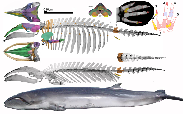 Figue 2. Caperea is a transitional taxon between tubby Desmostylus and tubby Eubalaena. Note the tiny manus (flipper). It is neotenous. See text for details. Note the short tail, not much longer than the tail found in Desmostylus.